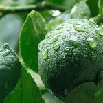 فروش اینترنتی لیمو سنگی