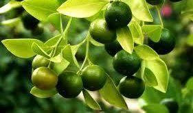 لیمو آسیایی